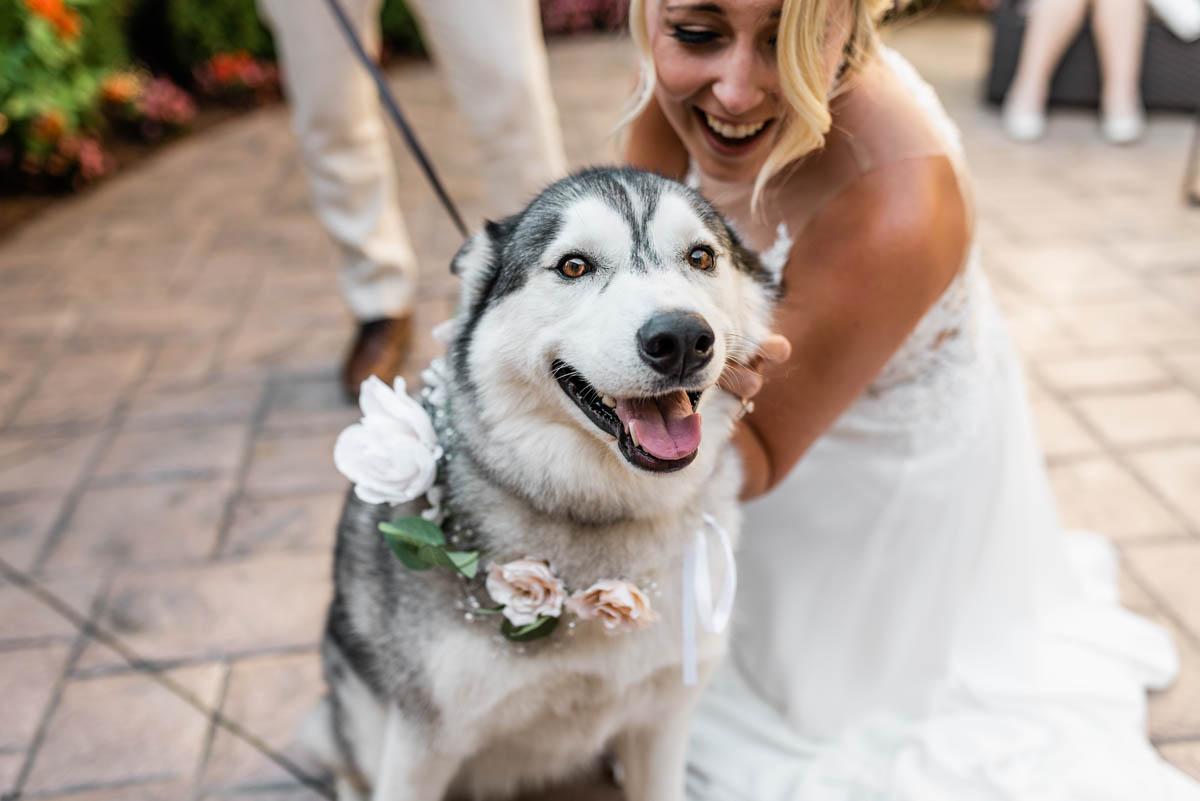 husky at wedding